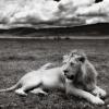 lion0188